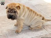 Shar PEI Breeders in PA