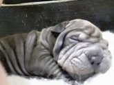 Shar Pei for stud