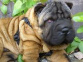 Shar Pei life expectancy