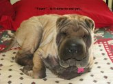 Shar Pei skin problems pictures