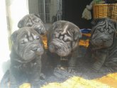 Shar PEIS for sale