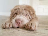 Teddy bear Shar Pei