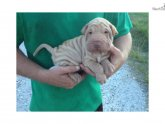 Toy Shar Pei Breeders