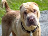 What is a Shar Pei?