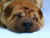 What is Shar Pei?