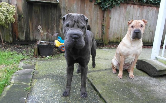 Miniature Blue Shar Pei puppies for sale