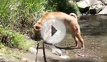 20110521 Cooper Playing In Creek - Chinese Shar Pei