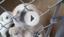A pair of chow/sharpei mixes need foster care!