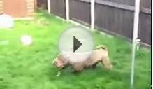 Belle the Shar Pei running around.
