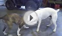 Boxer vs Pitbull Terrier