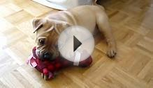 Brooklyn (Shar Pei / English Bulldog) playing with one of