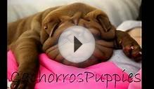 CachorrosPuppies bulldog frances ingles caniche shar pei