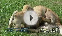 Chinese Shar Pei puppies - Shar-pei #04