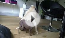 Dog Fight Shar Pei & Xoloitzcuintle 2