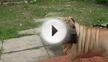 (HD) My Chinese Shar-Pei: BARK!