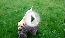 Liddy & Olivia - Shar Peis at Play