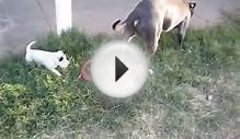 Pitbull Sharpei puppy playing with blue nose pitbull father