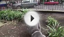Shar pei fri 20 july 2012 George Godley London U.K 00179.mp4