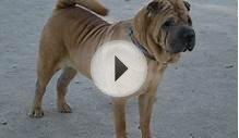 Shar Pei - Medium Dog Guide
