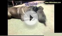 Shar Pei, Puppies, For, Sale In Toronto, Canada, Cities