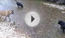 Shar-pits playing in the creek