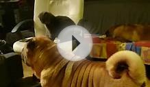 Sharpei playing with Scottish fold