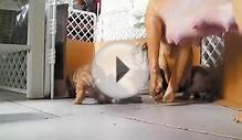 sharpei puppy dog baby pug