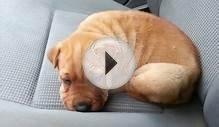 Sharpull Terrier Puppy Has Hiccups !