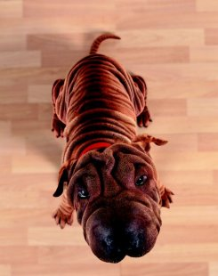 Your Shar-Pei is a mobile paradise for fleas, mites and other parasites.